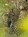 Adult African Leopard (Panthera Pardus) with Young, Masai Mara Game Reserve, Kenya Photographic Print by Joe McDonald