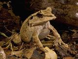 Solomon Island Eyelash Horned Frog (Ceratobatrachus Guentheri) Photographic Print by Joe McDonald