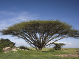 Flat-Topped Acacia Tree, Serengeti, Tanzania, East Africa Photographic Print by Fritz Polking