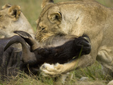 Female African Lion (Panthera Leo) Killing a Wildebeest, Masai Mara Game Reserve, Kenya Photographic Print by Joe McDonald