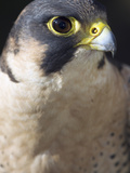 Head Detail of a Barbary Falcon Photographic Print by Gerold & Cynthia Merker