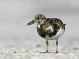 Ruddy Turnstone in Winter Plumage with a Tiny Clam in its Bill, Arenaria Interpres, Southern USA Photographic Print by Arthur Morris