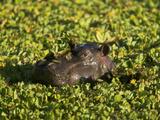 Hippopotamus in Water Lettuce (Hippopotamus Amphibius), Masai Mara, Kenya Photographic Print by Joe McDonald