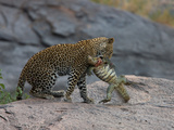 Young Leopard (Panthera Pardus) Killing Nile Monitor (Varanus Niloticus) Photographic Print by Paul & Paveena McKenzie