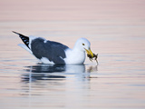 Western Gull (Larus Occidentalis) with Crab Prey in its Bill, Morro Bay, California, USA Photographic Print by Arthur Morris