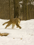 Mountain Lion (Felis Concolor) Running in the Snow Photographic Print by Jack Milchanowski