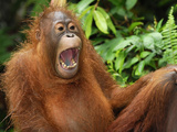 Bornean Orangutan Displaying (Pongo Pygmaeus) Camp Leaky, Tanjung Puting National Park, Kalimantan Photographic Print by Thomas Marent