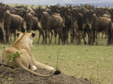 African Lion (Panthera Leo) and a Gnu Herd Watching Each Other, Masai Mara, Kenya Photographic Print by Joe McDonald
