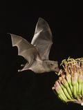 Mexican Long-Tongued Bat (Choeronycteris Mexicana) a Nectar-Feeding Bat at Agave Palmeri Flowers Photographic Print by Charles Melton