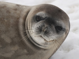 Crabeater Seal Head (Lobodon Carcinophagus) Photographic Print by Louise Murray