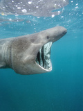 Basking Shark (Cetorhinus Maximus) Filter Feeding on Plankton Off Cornwall, England Photographic Print by Andy Murch