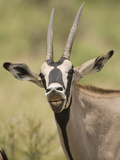 Beisa Oryx (Oryx Beisa) in the Masai Mara Game Reserve, Kenya Photographic Print by Joe McDonald