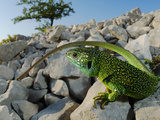 A Western Green Lizard (Lacerta Bilineata) Warming on the Rocks, Croatia Photographic Print by Fabio Pupin