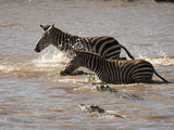 Common Zebras (Equus Burchelli) Crossing the Mara River in Masai Mara, Kenya Photographic Print by Mary Ann McDonald