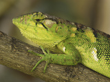 Many-Colored Bush Anole Head (Polychrus Marmoratus), Colombia Photographic Print by Thomas Marent