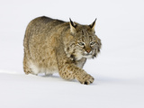 Bobcat (Lynx Rufus) Walking in the Snow Photographic Print by Jack Milchanowski
