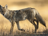 Coyote (Canis Latrans), Montana, USA Photographic Print by Joe McDonald