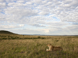 Lioness (Panthera Leo) Resting in the Grass, Masai Mara Game Reserve, Kenya, Africa Photographic Print by Joe McDonald