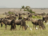 White-Bearded Wildebeest Herd Grazing with Cattle Egrets, Serengeti National Park, Tanzania Photographic Print by Mary Ann McDonald