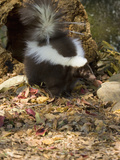 Striped Skunk (Mephitis Mephitis), Seacrest Wolf Preserve, Florida, USA Photographic Print by Jack Milchanowski