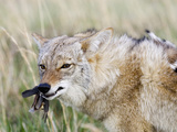 Coyote (Canis Latrans) with Bobwhite Quail Prey, USA Photographic Print by Steve Maslowski