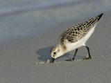 Juvenile Sanderling Foraging, Calidris Alba, Southern USA Photographic Print by Arthur Morris