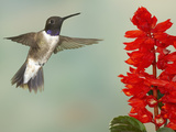 Black-Chinned Hummingbird (Archilochus Alexandri) Male Flying Photographic Print by Jack Milchanowski