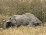 African Elephant (Loxodonta Africana) Bull Dying in the Masai Mara Game Reserve, Kenya Photographic Print by Joe McDonald