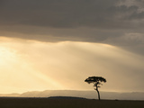Acacia Tree at Sunset in the Masai Mara Game Reserve, Kenya Photographic Print by Joe McDonald
