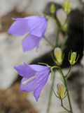 Gentian (Campanula Sabatia), Endemic Flower of the Liguria Mountains, Italy Photographic Print by Fabio Pupin