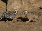 Montezuma or Mearns' Quail Male and Female (Cyrtonyx Montezumae) Scratching for Food Photographic Print by Charles Melton
