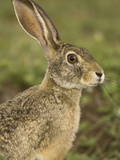 African Savanna Hare, Lepus Microtis, in the Masai Mara Game Reserve, Kenya Photographic Print by Joe McDonald