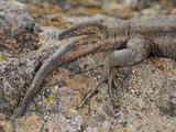Two Tailed Wall Lizard (Gallotia Caesaris), La Gomera, Canary Islands Photographic Print by Fabio Pupin