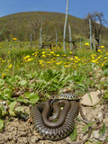 A Whip Snake (Hierophis Viridiflavus) Basking in the Spring Sunlight, Italy Photographic Print by Fabio Pupin