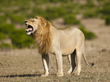 Male African Lion (Panthera Leo) Roaring in the Masai Mara Game Reserve, Kenya Photographic Print by Joe McDonald