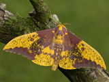 Imperial Moth Male (Eacles Imperialis Decoris) Costa Rica Photographic Print by Leroy Simon