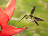 Green-Breasted Mango Hovering and Nectaring at a Red Flower (Anthracothorax Prevostii), Costa Rica Photographic Print by Joe McDonald