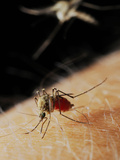 A Female Mosquito (Culex Pipiens) Feeding While a Second Mosquito Is Arriving Photographic Print by Fabio Pupin