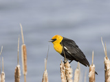 Yellow-Headed Blackbird (Xanthocephalus Xanthocephalus), Montana, USA Photographic Print by Neal Mischler