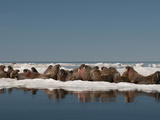 Walrus (Odobenus Rosmarus Rosmaru) Hauled Out on Pack Ice to Rest and Sunbathe Photographic Print by Louise Murray