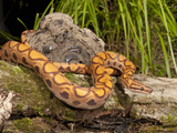 Brazilian Rainbow Boa (Epicrates Cenchria Cenchria), Captivity Photographic Print by Joe McDonald