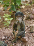 Olive Baboon Baby Eating, Papio Anubis, Tanzania, Africa Photographic Print by Arthur Morris