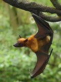 Malayan Flying Fox (Pteropus Vampyrus), Malaysia Photographic Print by Thomas Marent