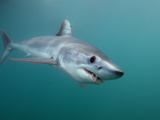 Shortfin Mako Shark (Isurus Oxyrinchus), San Diego, California, USA, Pacific Ocean Photographic Print by Andy Murch