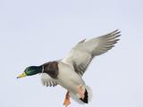 Male Mallard Duck (Anas Platyhynchos), Montana, USA Photographic Print by Neal Mischler