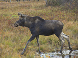 Moose (Alces Alces), New Hampshire, USA Photographic Print by Robert Servranckx