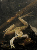 Italian Agile Frog (Rana Latastei) in the Dark Water of a Pond Photographic Print by Fabio Pupin
