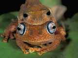 Dumeril's Bright-Eyed Frog (Amplexusboophis Tephraeomystax) in Amplexus on a Leaf Photographic Print by Thomas Marent