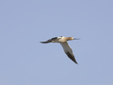 American Avocet in Flight (Recuruirostra Americana), Montana, USA Reproduction photographique par Neal Mischler