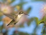 Ruby-Throated Hummingbird (Archilochus Colubris) at Mimosa Photographic Print by Steve Maslowski
